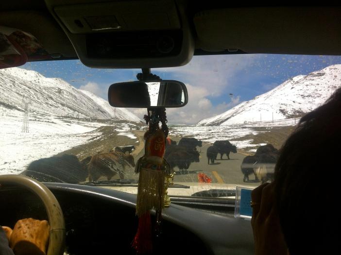 Los yaks en el camino no pudieron con nuestra intención y motivación de llegar a Gyantse.